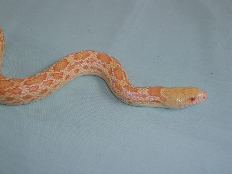Serpent - Pituophis catenifer affinis Sv102510