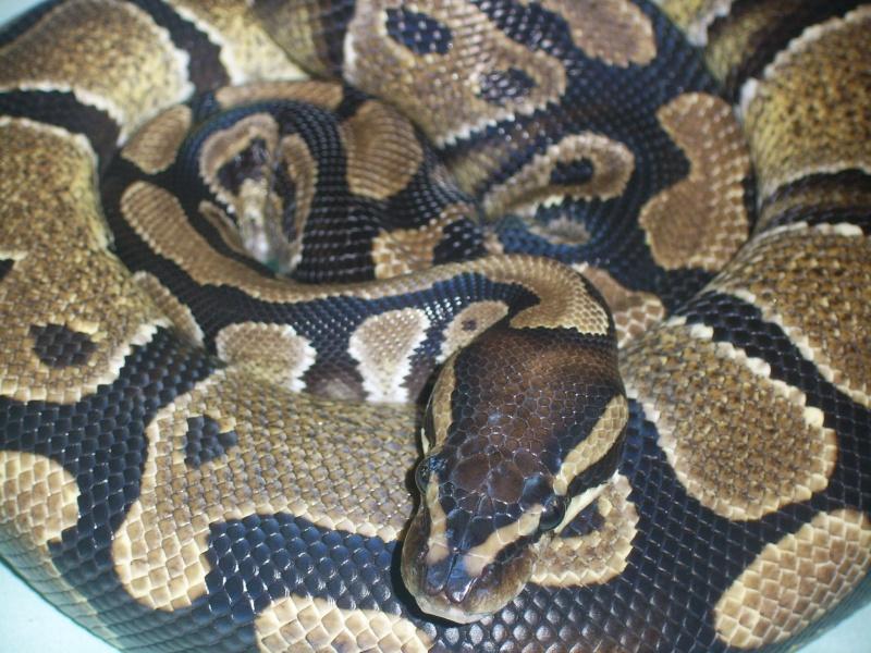 Serpent - Python regius Sv102610