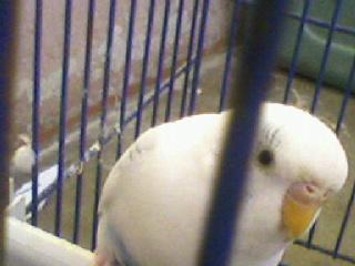 mes perruche que j'aime bouceau Photos19