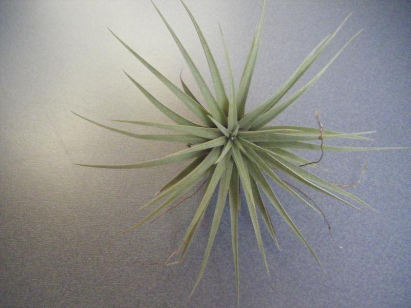 nouvelles tillandsia de chez plantes insolites - Page 2 Tillan11