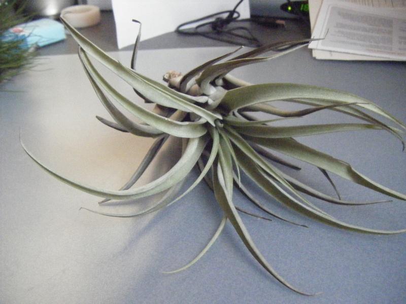 nouvelles tillandsia de chez plantes insolites - Page 2 Tillan15