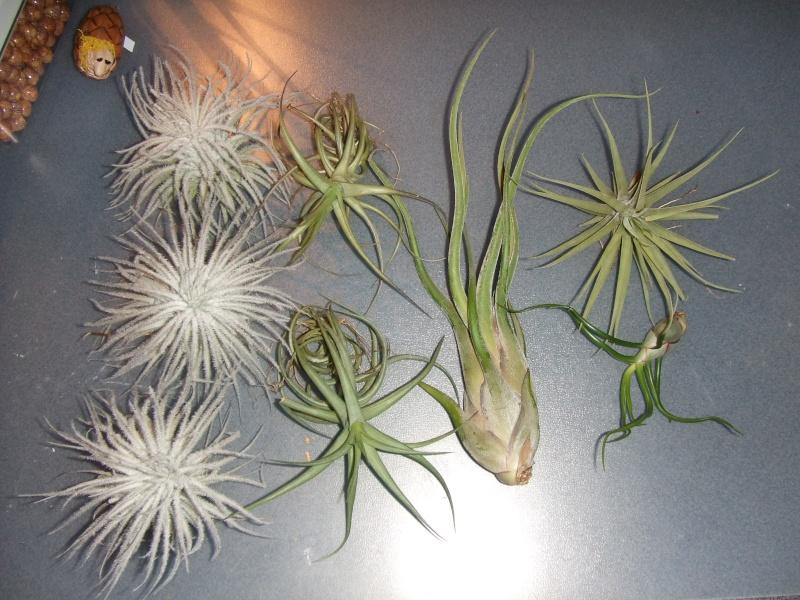 Tillandsias de chez plantes insolites Tillan28