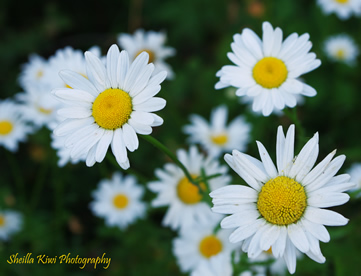 A few flowers and lil creatures Daisys10