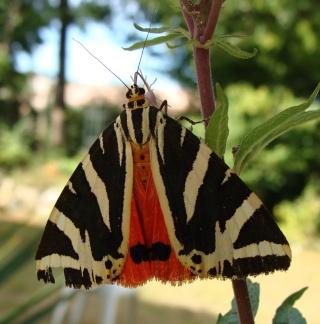 Papillons un peu plus insolites 110