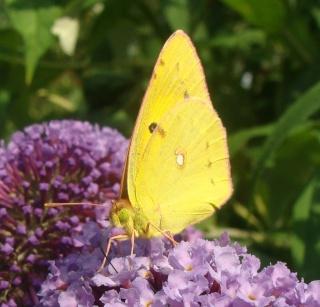 Papillons 510