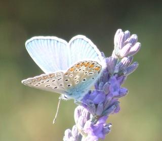 Papillons Azura10