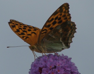 Papillons B210