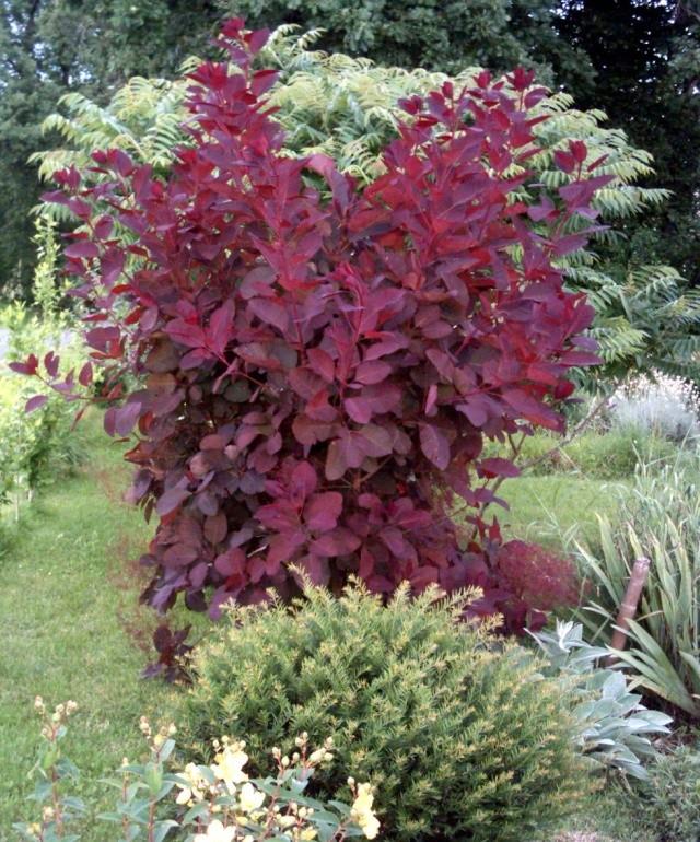 Cotinus Grace (arbre à perruques) Cotinu10