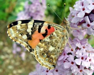 Papillons Dsc00212