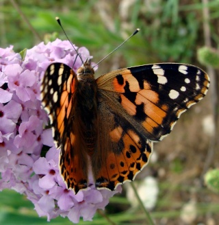 Papillons Dsc00213