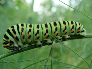 Papillon machaon Dsc00410