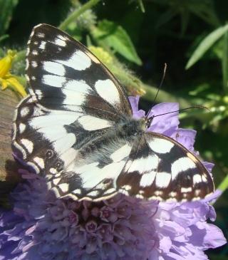 Papillons Dsc00411