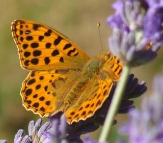 Papillons Dsc00412