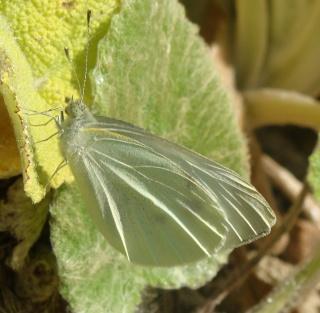 Papillons Dsc00413