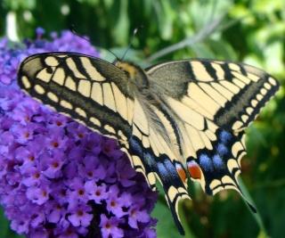 Papillons un peu plus insolites Dsc00613