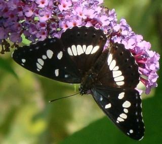 Papillons un peu plus insolites Dsc00810