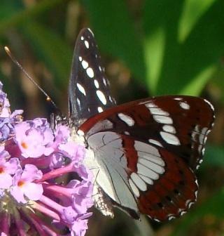 Papillons un peu plus insolites Dsc00811