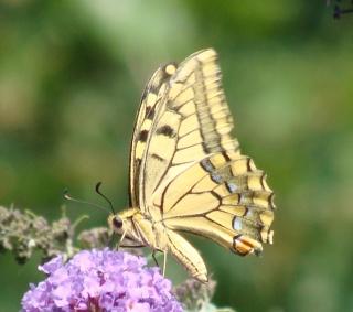 Papillons un peu plus insolites Dsc00812