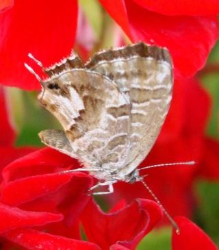 Papillons un peu plus insolites Dsc01413