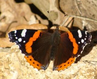 Papillons Dsc01914