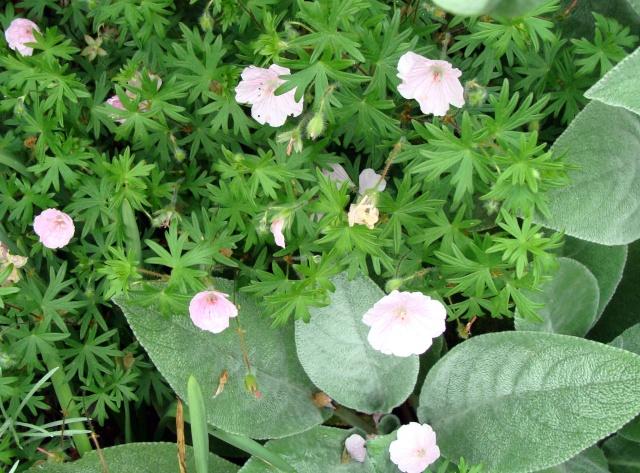Géraniums vivaces Garani10