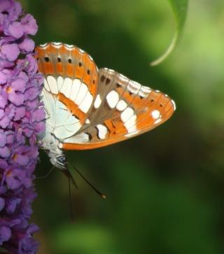 Papillons un peu plus insolites I10