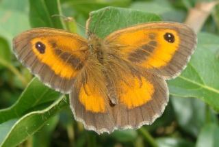 Papillons un peu plus insolites Pa10