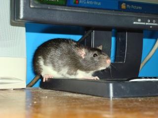 cute pet rats!! Kitty_11
