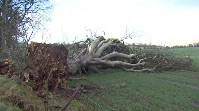 """Dark Hedges"" Tree falls in High Winds. _1053510"