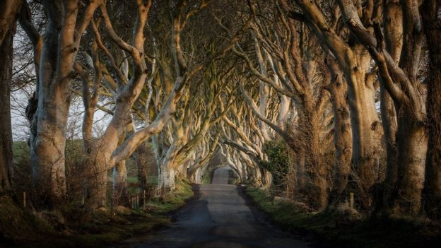 """Dark Hedges"" Tree falls in High Winds. _8799510"