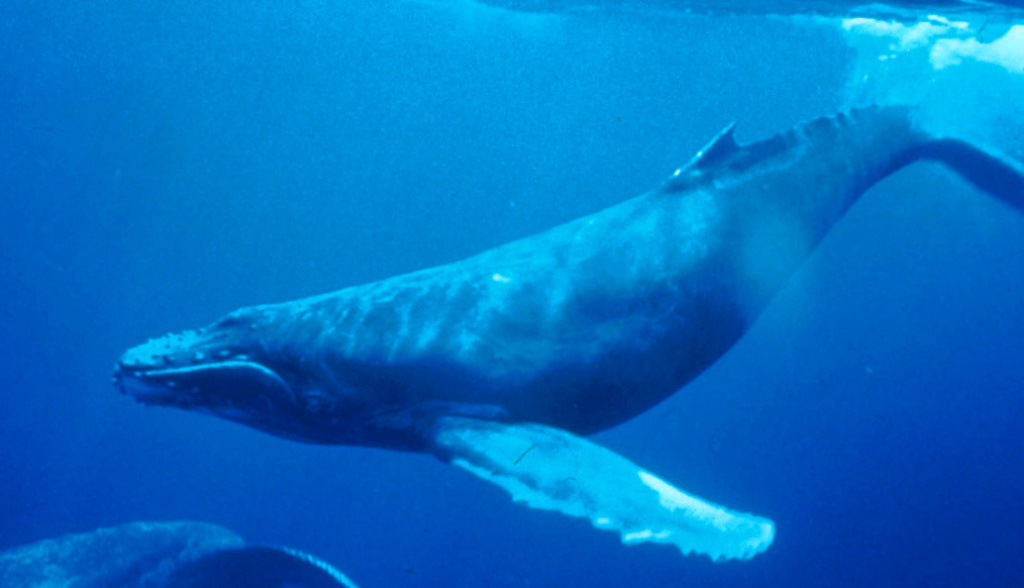 Hump back whales sighted along West Coast Humpba10