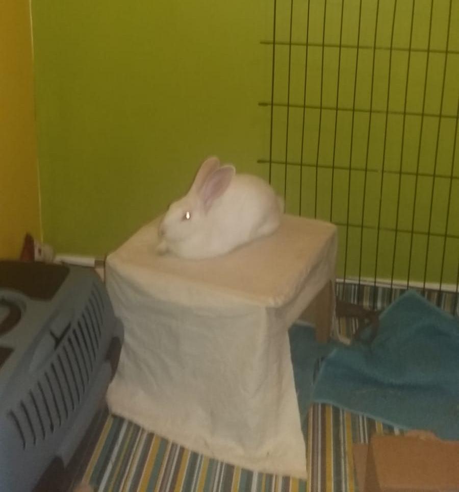 [White Rabbit]Lapins réhabilités de laboratoire à parrainer  - Page 2 08c47610
