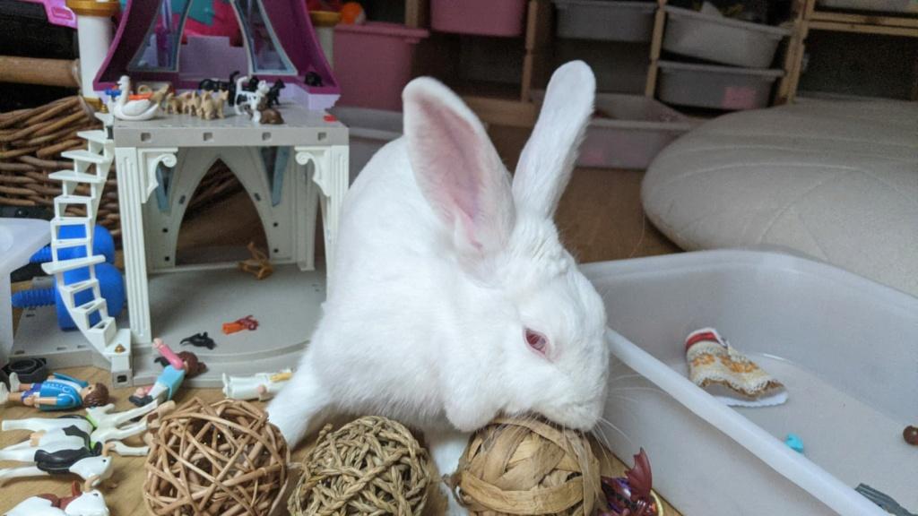 [White Rabbit]Lapins réhabilités de laboratoire à parrainer  - Page 2 113