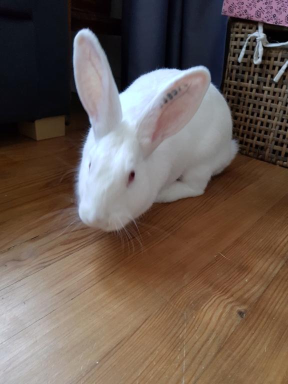 [White Rabbit]Lapins réhabilités de laboratoire à parrainer  - Page 2 20210415