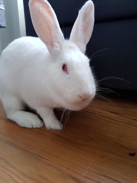 [White Rabbit]Lapins réhabilités de laboratoire à parrainer  - Page 2 20210416