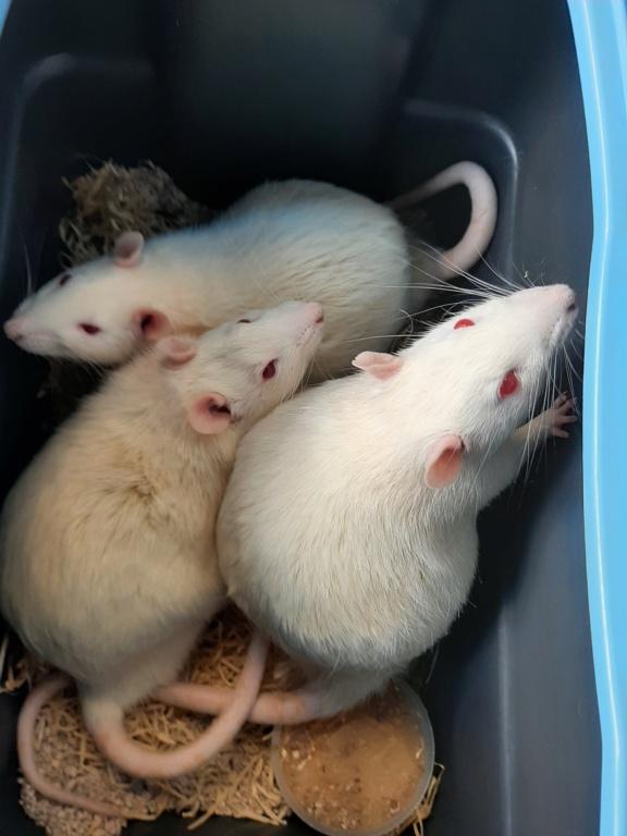 [Adoptés] 3 rats mâles réhabilités de laboratoire 20210420