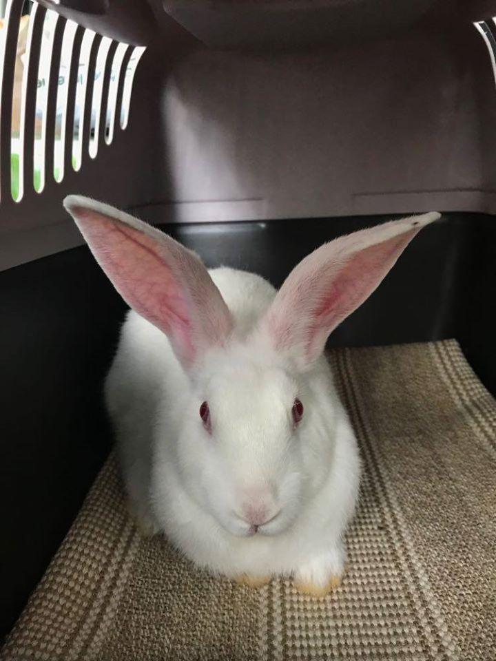 URGENT recherche FA pour 6 jeunes lapins avant début juin 83174710