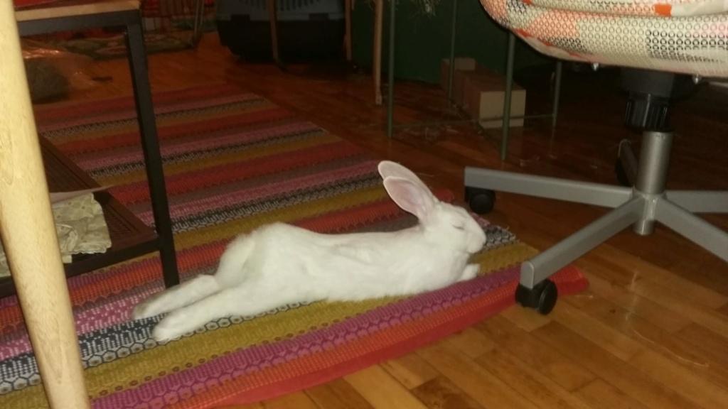 [White Rabbit]Lapins réhabilités de laboratoire à parrainer  - Page 2 87083d10