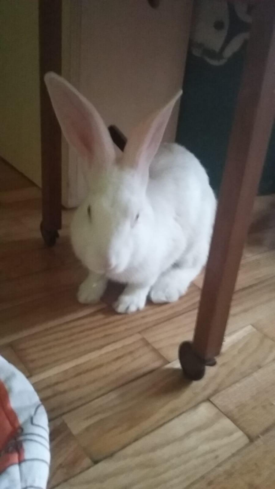 [White Rabbit]Lapins réhabilités de laboratoire à parrainer  - Page 2 E4de4c10