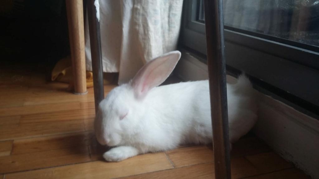 [White Rabbit]Lapins réhabilités de laboratoire à parrainer  - Page 2 Ea867210