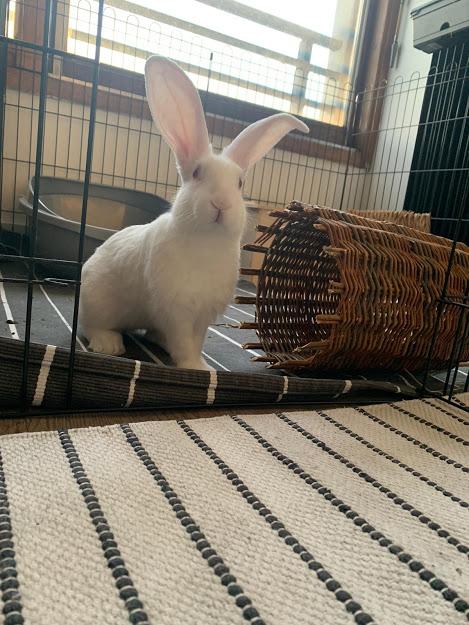 [White Rabbit]Lapins réhabilités de laboratoire à parrainer  - Page 2 Img-2029
