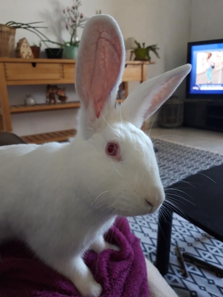 [White Rabbit]Lapins réhabilités de laboratoire à parrainer  - Page 2 Img_0317