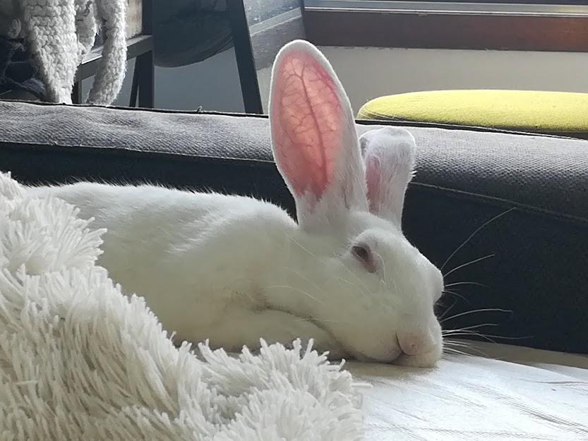 [White Rabbit]Lapins réhabilités de laboratoire à parrainer  - Page 2 Img_2026