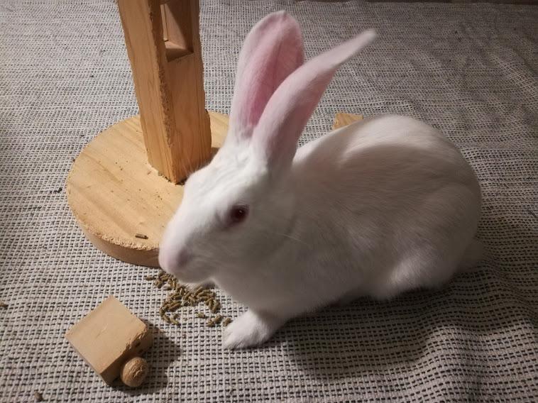 [White Rabbit]Lapins réhabilités de laboratoire à parrainer  - Page 2 Img_2027