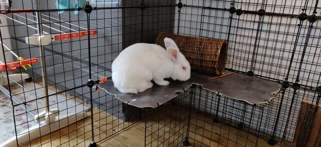 [White Rabbit]Lapins réhabilités de laboratoire à parrainer  - Page 2 Img_2029
