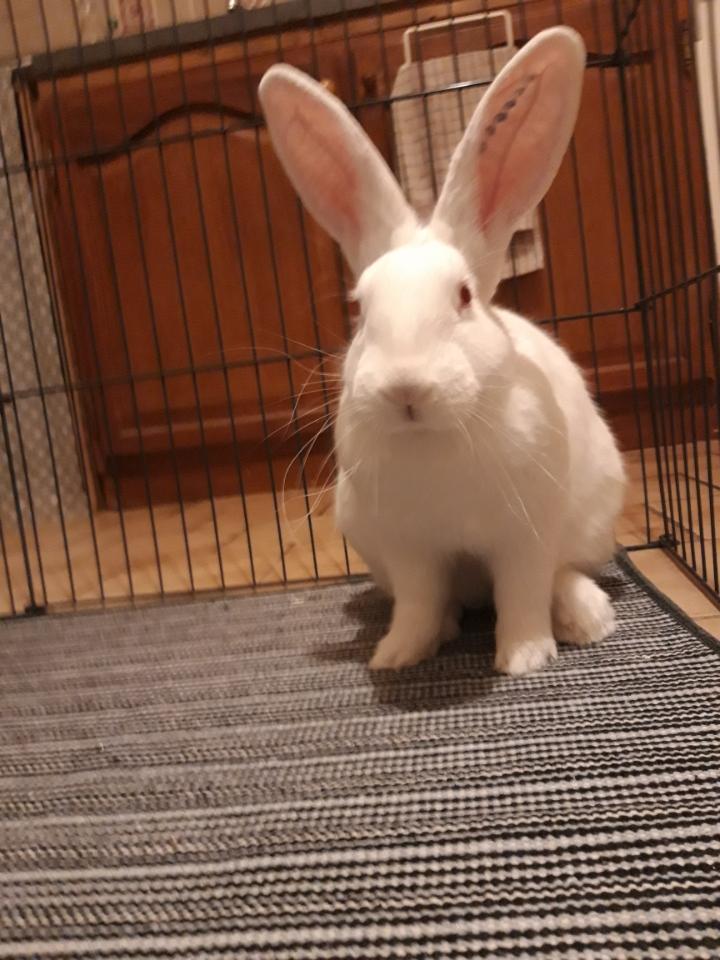 [White Rabbit]Lapins réhabilités de laboratoire à parrainer  - Page 2 Img_8212