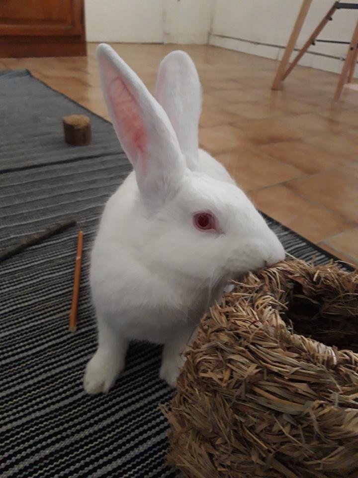 [White Rabbit]Lapins réhabilités de laboratoire à parrainer  - Page 2 Img_8313