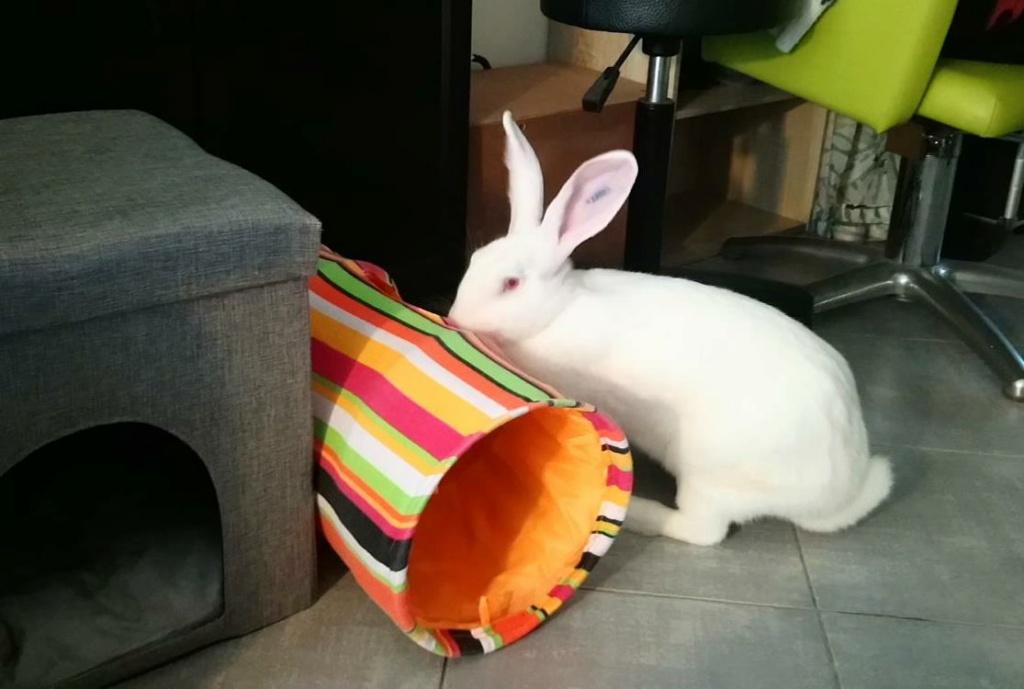 [White Rabbit]Lapins réhabilités de laboratoire à parrainer  - Page 2 Photo_54