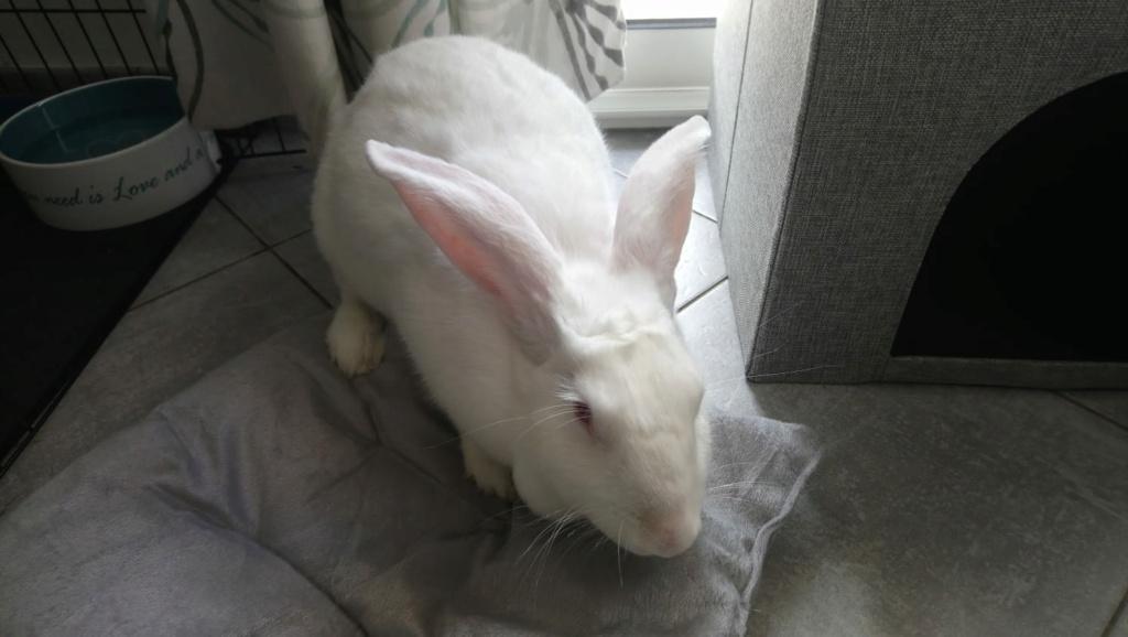 [White Rabbit]Lapins réhabilités de laboratoire à parrainer  - Page 2 Photo_55