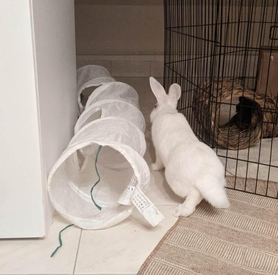 [White Rabbit]Lapins réhabilités de laboratoire à parrainer  - Page 2 Photo_56